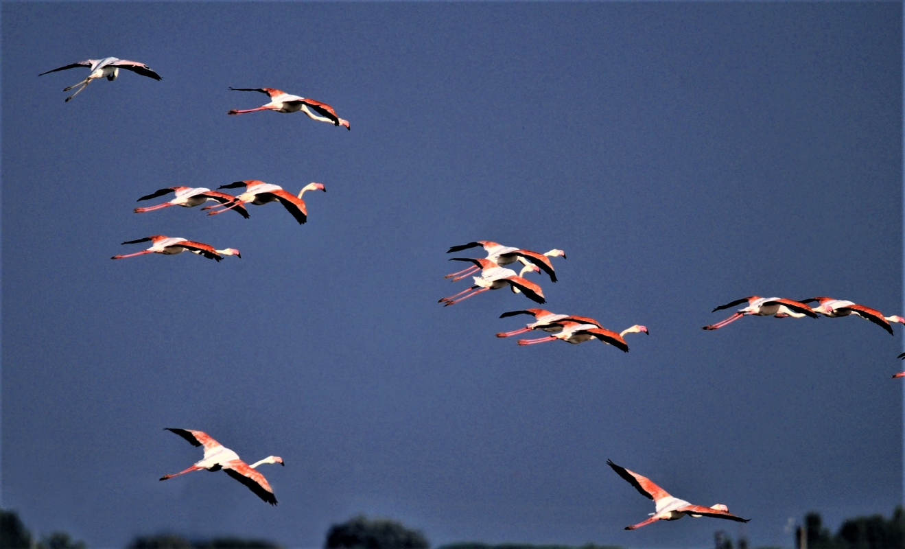 Fenicotteri rosa sulle saline di Comacchio - GianlucaMoretti - Comacchio (FE)