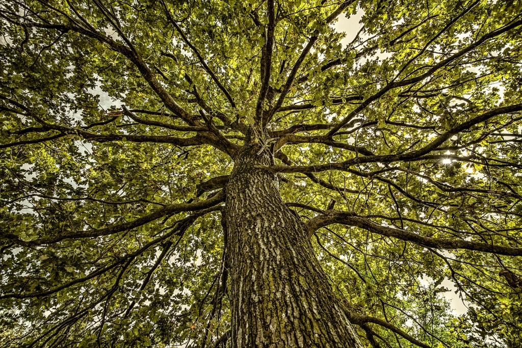 La grande quercia - oasi del Torrazzuolo - Giovanna molinari - Nonantola (MO)