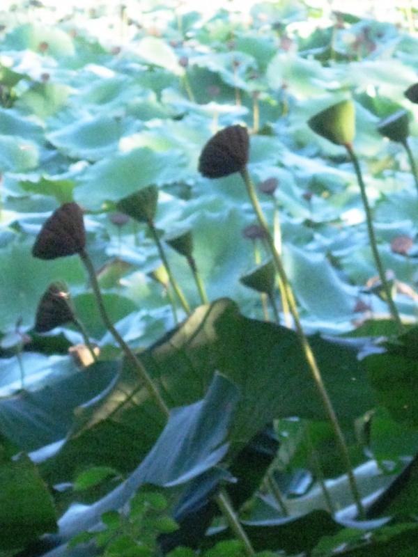 Fiori di loto - Sofiadiviola - Lugo (RA)