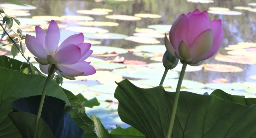 Parco loto fiori - Carlabergami59 - Lugo (RA)