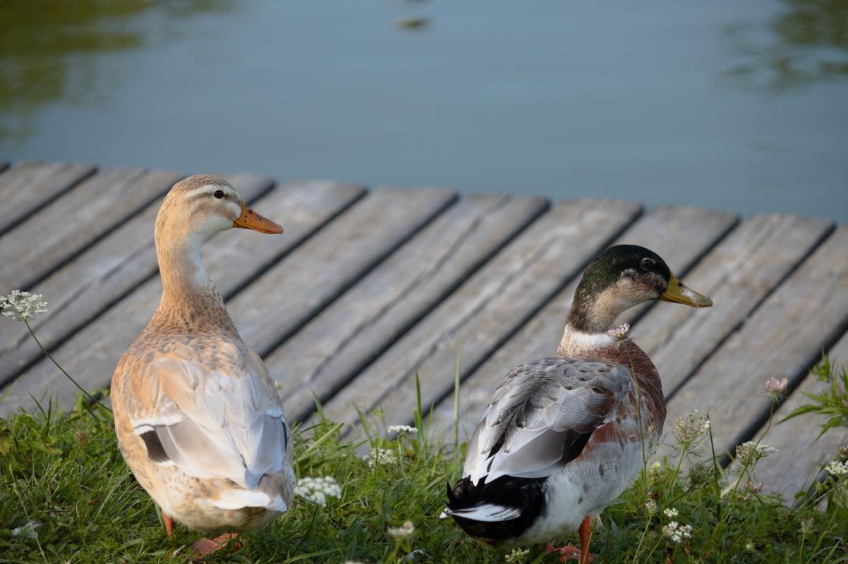 Parco Golfera - due anatre - Stefano.Ronchi.it - Lugo (RA)
