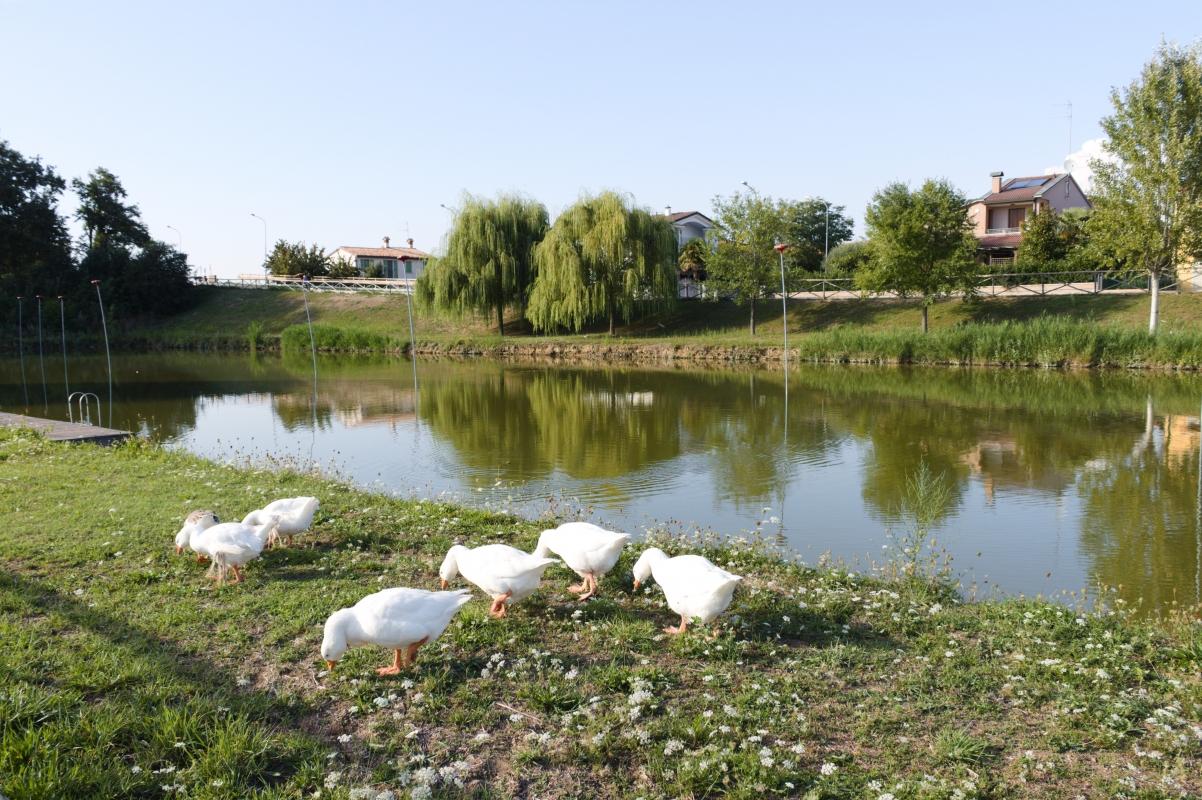 Parco Golfera - laghetto e oche - Stefano.Ronchi.it - Lugo (RA)