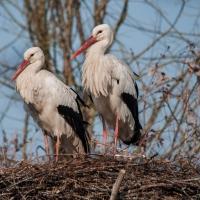 Cicogne nel nido - Andrea0250 - Bentivoglio (BO)