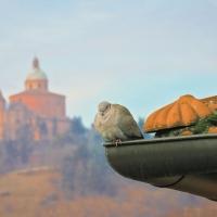 Una tortora a San Luca - Maurizio rosaspina - Bologna (BO)
