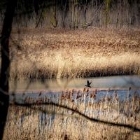 Reeds bird-25 - Massimo Saviotti - Sarsina (FC)