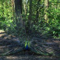 Un pavone nel parco di Villa Massari-Ricasoli - Meneghetti - Voghiera (FE)