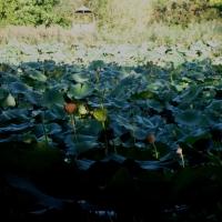 Parco del Loto, fiori di loto - Sofiadiviola - Lugo (RA)