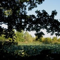 Parco del Loto, alberi e fiori di loto - Sofiadiviola - Lugo (RA)