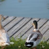 Parco Golfera - anatre - Stefano.Ronchi.it - Lugo (RA)