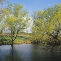 Salici in fiore zona fiasca valle dei Bruciati - Claudio Magnani - Reggiolo (RE)