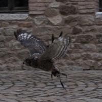 Volando nel cortile della Rocca - Larabraga19 - Montefiore Conca (RN)